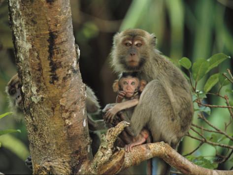 tim-laman-mother-and-baby-monkey-sit-on-a-tree-limb