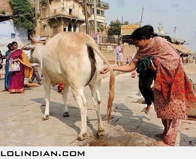 http://lolindian.com/images/2013/December/30/indian-catches-cow-urine.jpg