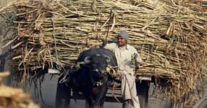 sugarcane-up_505_110613080638