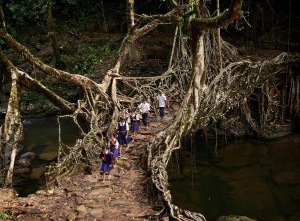 tree-root-bridge-meghalaya