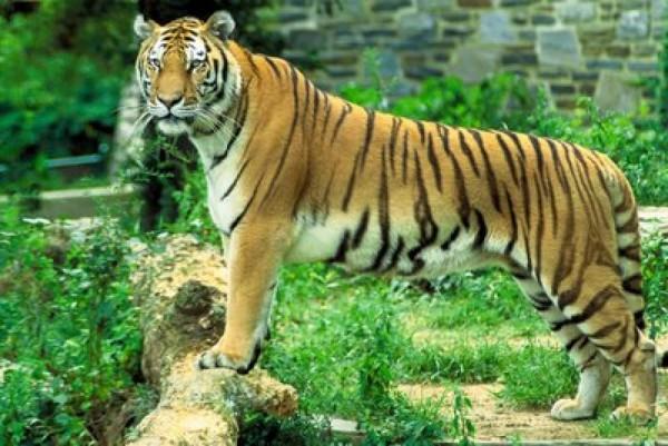 bengal-tiger-sundarban1