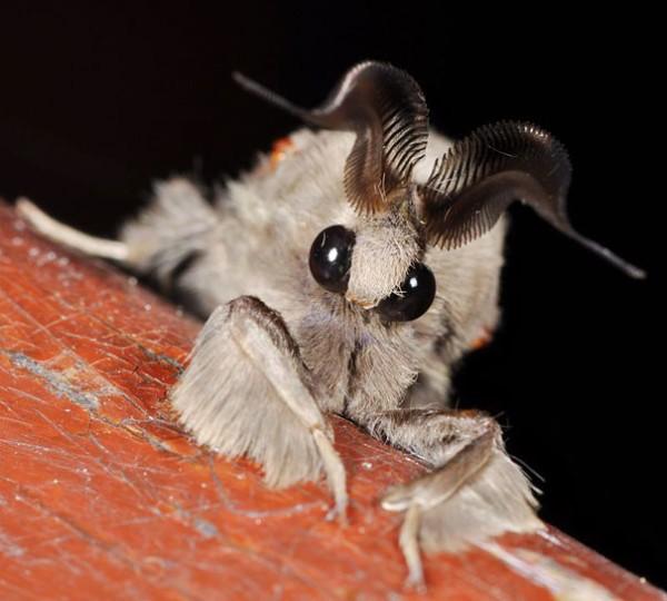 Venezuelan Poodle Moth 1
