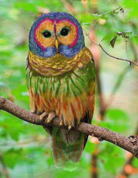 rainbow-owl