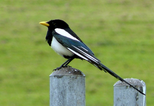 Yellow-billed_Magpie