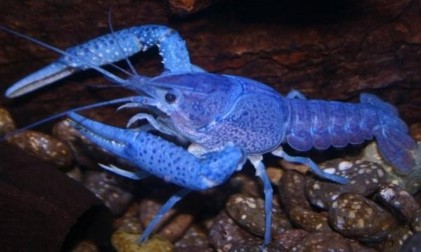 electric-blue-alleni-crayfish__33736_zoom1
