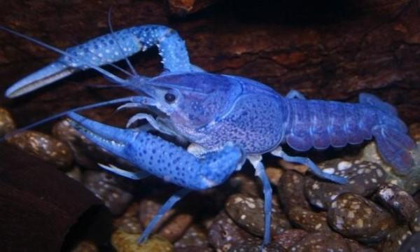 electric-blue-alleni-crayfish__33736_zoom1