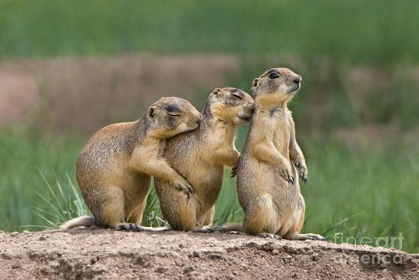 relaxing-utah-prairie-dogs-cynomys-parvidens-wild-utah-dave-welling