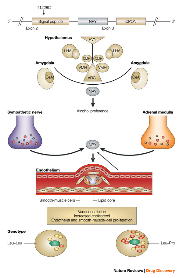 physiology neurons hormones and obesity
