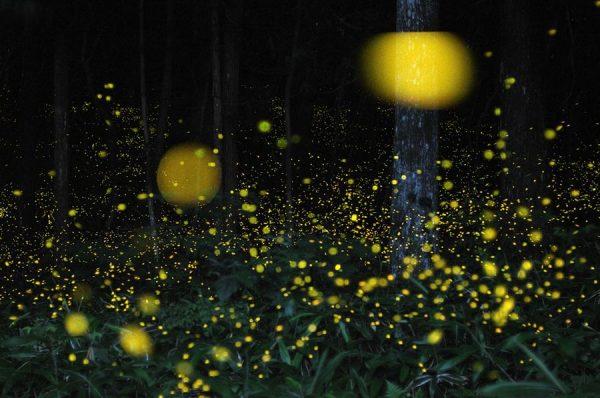 Fireflies-01