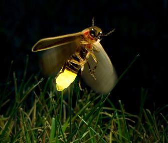 glowing-firefly-light-emitting-bug